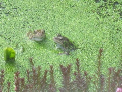 frogs 028